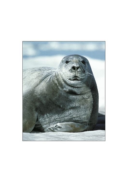 Photo bearded seal