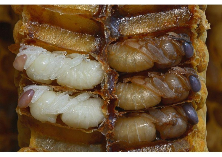 Photo bee larvae