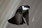 Photo Bird - Myiagra inquieta
