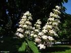 Photo blossoming horse chesnut 2