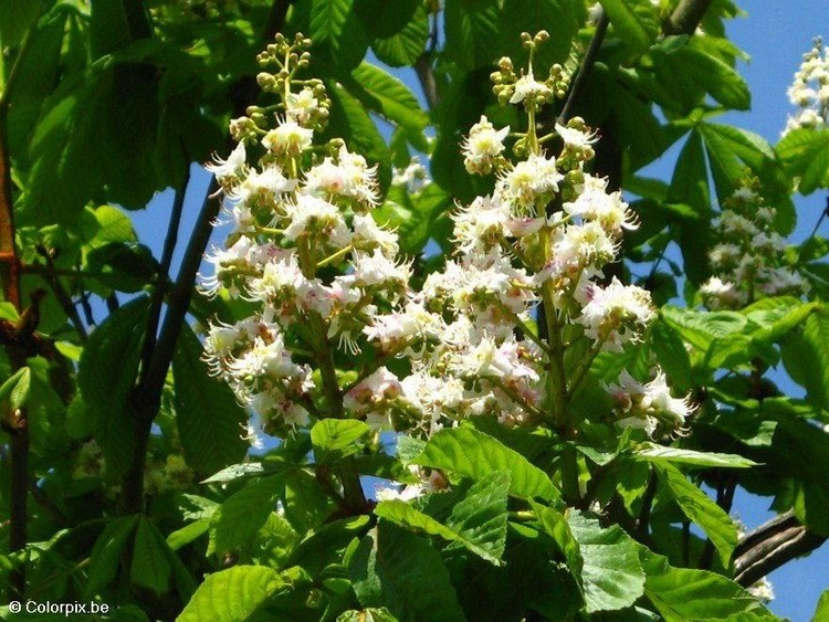 Photo blossoming horse chesnut