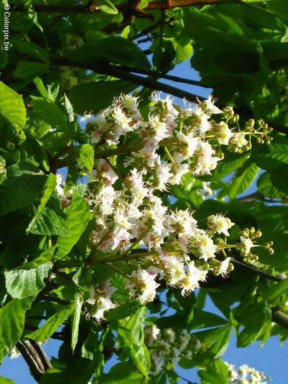 blossoming horse chesnut