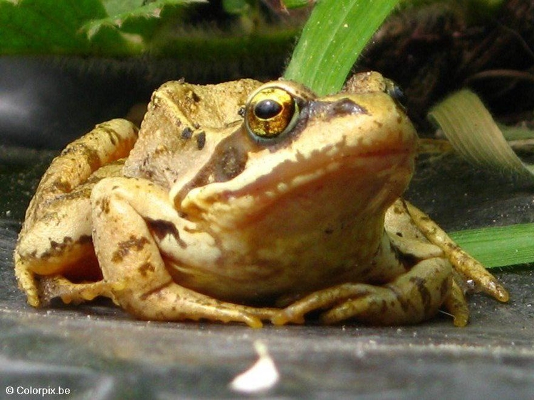 Photo brown frog