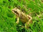 Photo brown frog