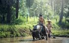 Photo buffalo - agriculture