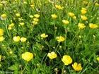 Photo buttercups