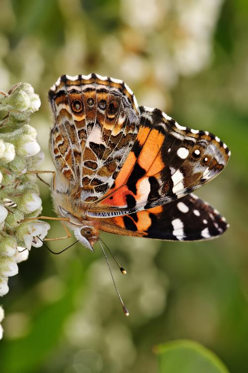 Butterfly - Australian painted lady