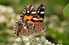 Photo Butterfly - Australian painted lady