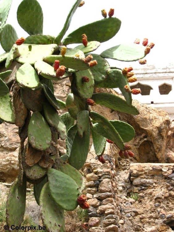 Photo cactus with fruits