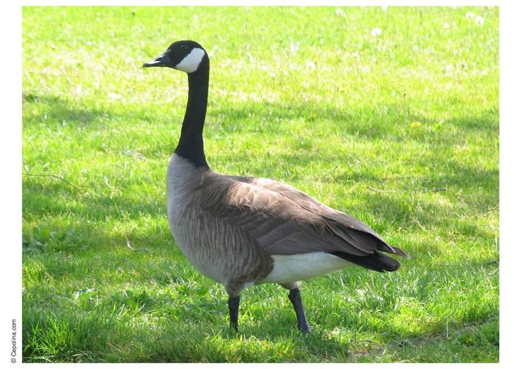 Photo canadian goose