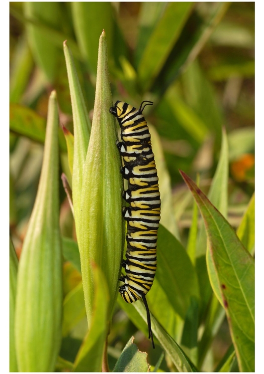 Photo caterpillar monarch butterfly