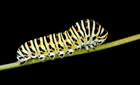 Photo caterpillar