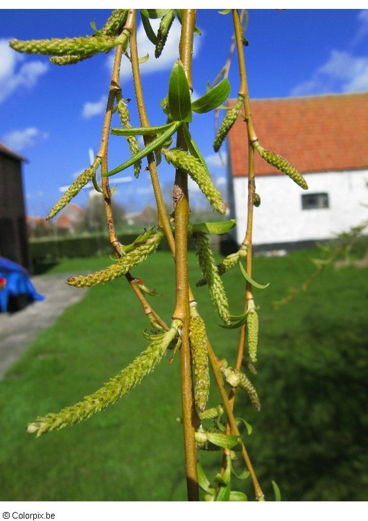 Photo catkins weeping willow