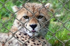 Photo cheetah in cage
