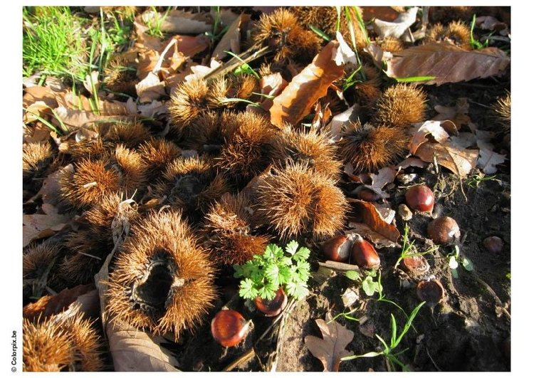 Photo chestnuts