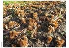 Photo chestnuts