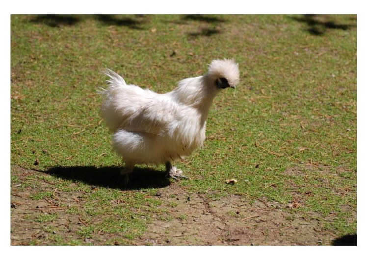Photo chicken