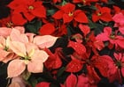 Photo christmas rose