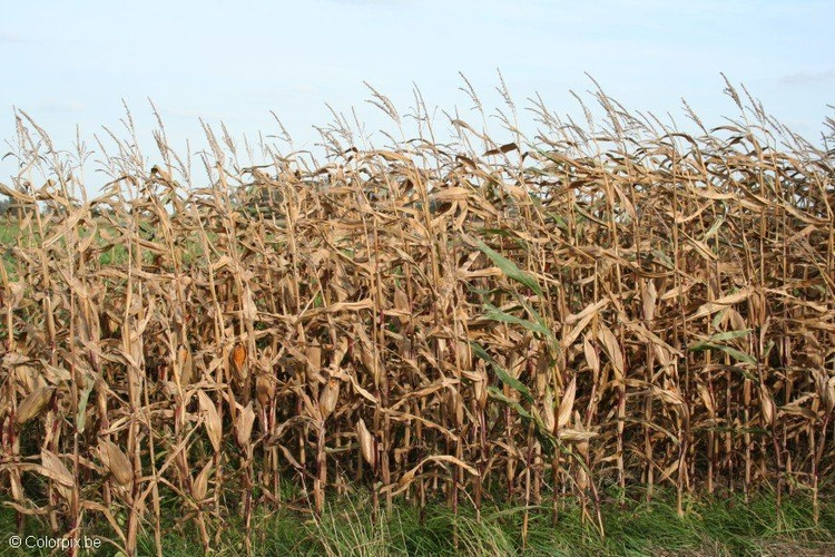 Photo corn field