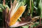 Photo corn