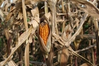 Photo corncob