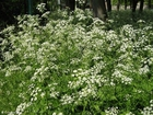 Photo cow parsley 2