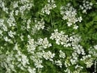 Photo cow parsley 3