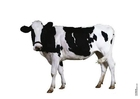 Photo cow