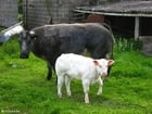 Photo cow with calf