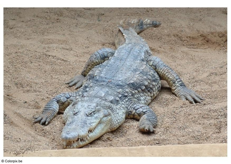 Photo crocodile