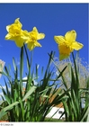 Photo daffodils