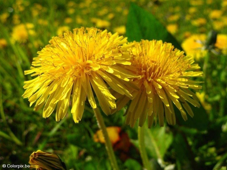 Photo dandelion 3
