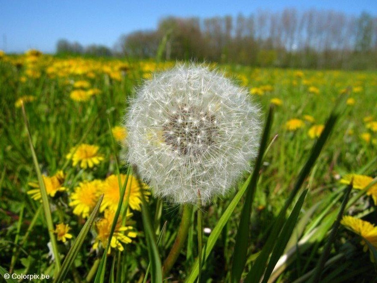 Photo dandelion 4