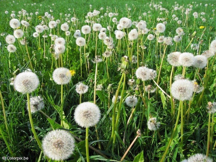 Photo dandelion 6