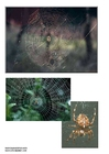 Photo diadem spider