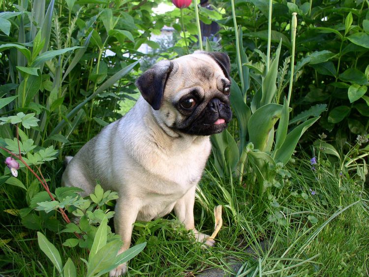 Photo dog - pugdog