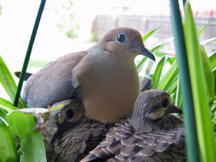 Photo dove with chick