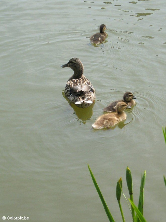 Photo duck with ducklings 2