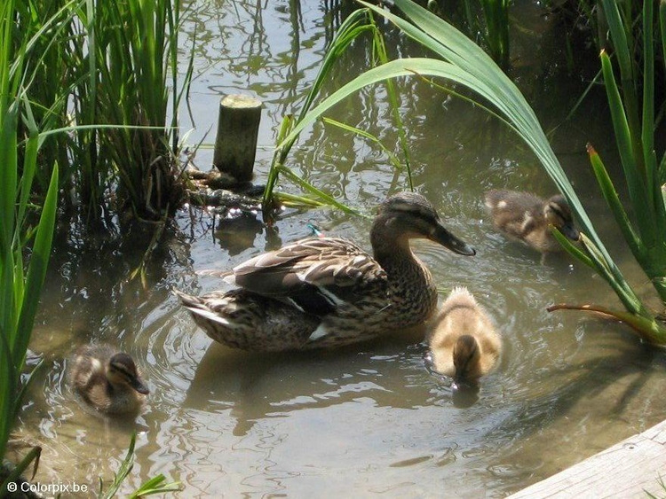 Photo duck with ducklings 3