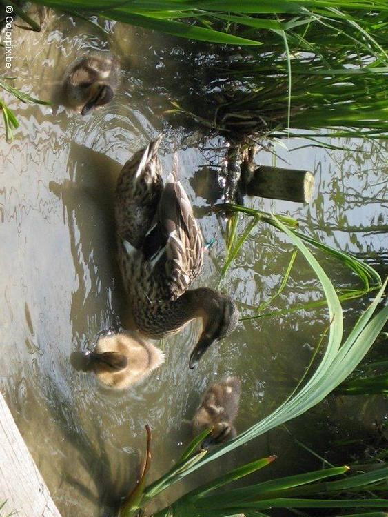 duck with ducklings 3