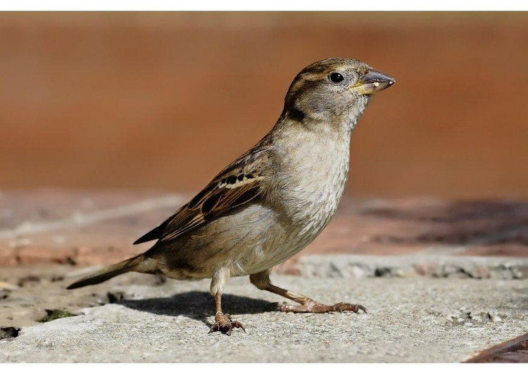 Photo female sparrow