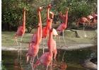 Photo flamingos