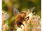 Photos fly - hoverfly