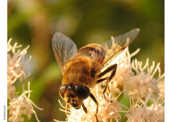 Photo fly - hoverfly
