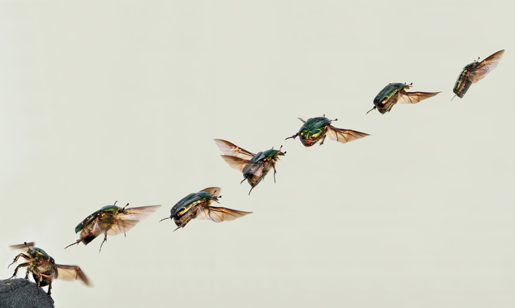 Photo flying rose-chafer