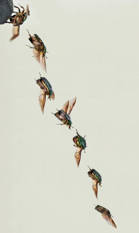 flying rose-chafer