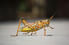Photos grasshopper