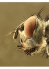 Photos head of a fly