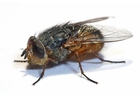 Photos housefly