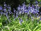 Photo hyacinth 4